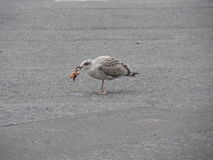 Juvenile seagull eating starfish Royalty Free Stock Images