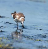Juvenile seagull on water Stock Photography
