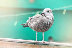 Juvenile seagull. Perched on the edge of a boat Stock Photography