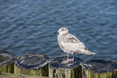 Juvenile seagull perched on posts. Stock Photo