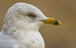 Juvenile Seagull Profile Stock Photography