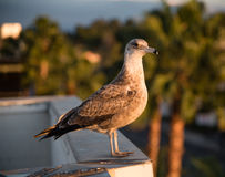 Juvenile Seagull on the roof Royalty Free Stock Photos