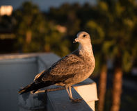 Juvenile Seagull on the roof Stock Images
