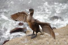 Juvenile seagull spreads wings wide to dry feathers. Close-up view in foreground of a juvenile seagull spreading its wings wide to help dry the feathers Stock Image