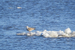Juvenile Seagull Stranded on Iceberg, Hudson River Stock Photo