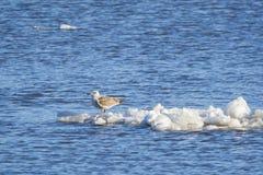 Juvenile Seagull Stranded on Iceberg, Hudson River stock photo