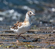 Juvenile seagull on water. Juvenile seagull on a lake searching for food Royalty Free Stock Photos