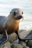 Juvenile seal Stock Photo