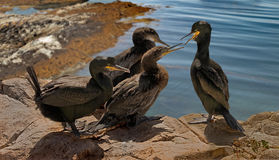 Juvenile Shags consider Flying. A male and female Shag trying to persuade their two juveniles to fly Stock Images