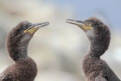 Juvenile Shags (Phalacrocorax aristotelis) Stock Photography