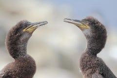 Juvenile Shags (Phalacrocorax aristotelis) Stock Photography