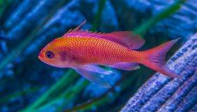 Juvenile shallowtail sea perch in closeup, colorful tropical fish from the mediterranean and black sea royalty free stock image