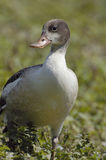 Juvenile Shelduck Royalty Free Stock Photography