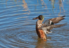 A juvenile Shoveler Duck enjoying a bath Stock Images