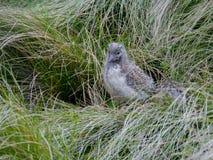 Juvenile silver gull Stock Photos