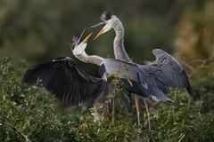 Juvenile sibling Great Blue Herons engaged in a dispute - Florid Stock Photo