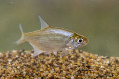 Juvenile Silver Bream Royalty Free Stock Photography