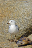 Juvenile Silver Gull with dead fish. A juvenile Silver Gull (Larus novaehollandiae) about to feed from the carcass of a dead fish. Space for copy above its head Stock Image