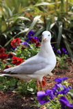 Juvenile Silver Gull in garden Stock Photos
