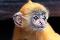 Juvenile Silver Leaf Monkey. Ginger coloured Juvenile Silver Leaf Monkey in Borneo Stock Photos