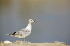 Juvenile slender-billed seagull Stock Photos