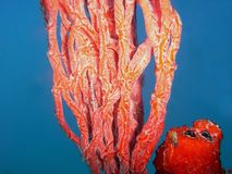 A Juvenile Slender Filefish on Red Tree Sponge. A juvenile Slender Filefish can be seen head-down so it`s parallel to the branches of Red Tree Sponge which royalty free stock images