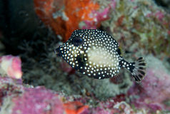 Juvenile Smooth Trunkfish Royalty Free Stock Image