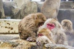 Juvenile Snow Monkey Temper Tantrum Stock Photo