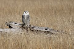 Juvenile Snowy Owl on Driftwood Royalty Free Stock Photography