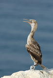 Juvenile Socotra cormorant sitting on the sea coast Stock Image