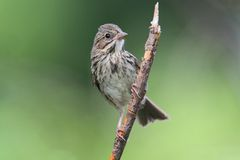 Juvenile Song Sparrow (Melospiza melodia) Stock Photos