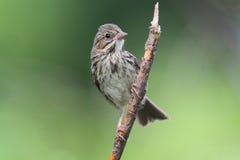 Juvenile Song Sparrow (Melospiza melodia) stock photos