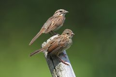 Juvenile Song Sparrow (Melospiza melodia) Royalty Free Stock Photography