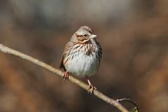 Juvenile Song Sparrow (Melospiza melodia) Royalty Free Stock Photos