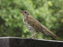 Juvenile song thrush interested in someone Royalty Free Stock Image