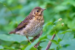 Juvenile Song Thrush perched in dense green leaves stock photo