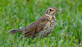Juvenile Song Thrush Turdus philomelos closeup Royalty Free Stock Image