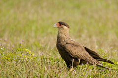 Juvenile Southern Crested Caracara Royalty Free Stock Photo