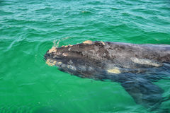 Juvenile Southern Right Whale Stock Photos
