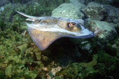 Juvenile Southern stingray Stock Image