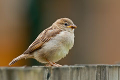 Juvenile Sparrow. (Passer domesticus) on a wooden fence Stock Photography