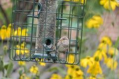 Juvenile Sparrow. A Juvenile Sparrow Sitting on the Bird Feeder Stock Photos