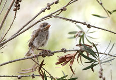 Juvenile sparrow Royalty Free Stock Images
