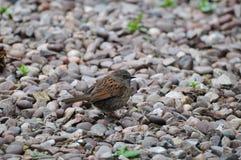 A Juvenile Sparrow. Stock Photography
