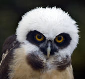 Juvenile Spectacled Owl Stock Images