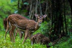 Juvenile spotted deer Stock Image