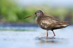 Juvenile Spotted Redshank. Young dusky Redshank in water Stock Photography