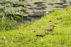 Juvenile Spotted Sandpiper Walking through the Grass stock images