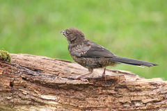 Juvenile Spotted Towhee Stock Photo
