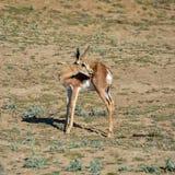 Juvenile Springbok Royalty Free Stock Photos